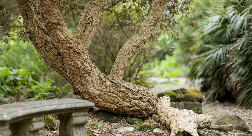 Ventnor Botanic Garden - Secret Garden cork tree