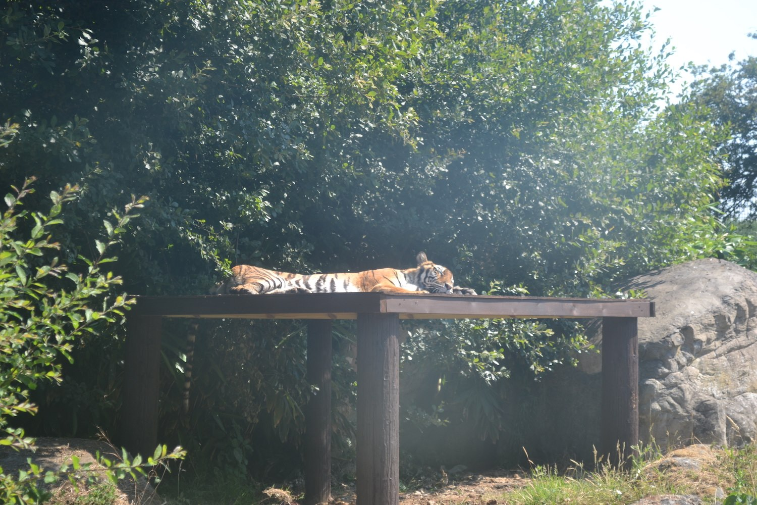 Ex-circus tiger enjoys a nap at Isle of Wight Zoo