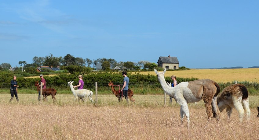 West Wight Alpacas - herd