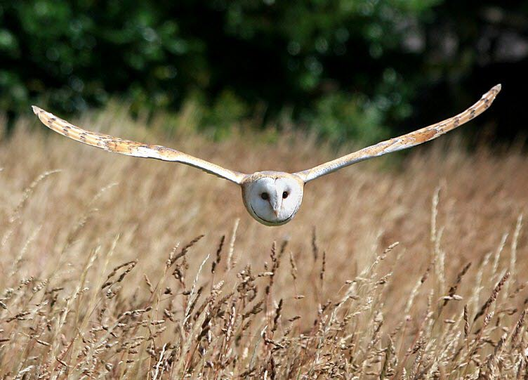 Bird Watching Isle of Wight Barn Owl