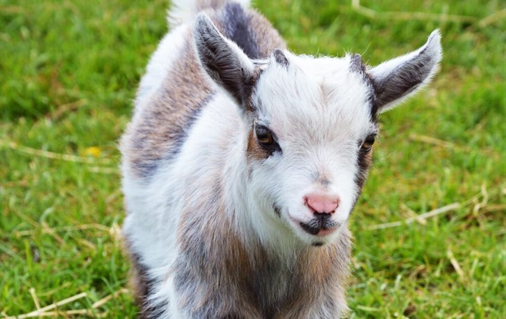 West Wight Alpacas - pygmy goat