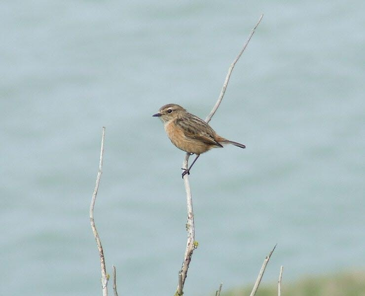 Bird Watching Isle of Wight Linnet