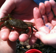 Crab found at St Helens Beach by Philip Bell