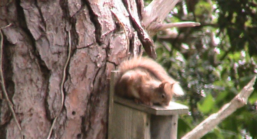 The Old Kitchen - red squirrel