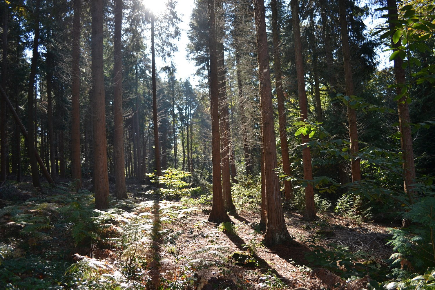 Parkhurst Forest Conifers
