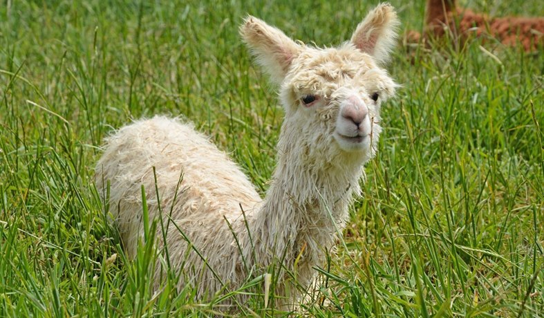 West Wight Alpacas - baby alpaca