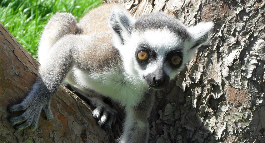 Mati the Ring Tailed Lemur