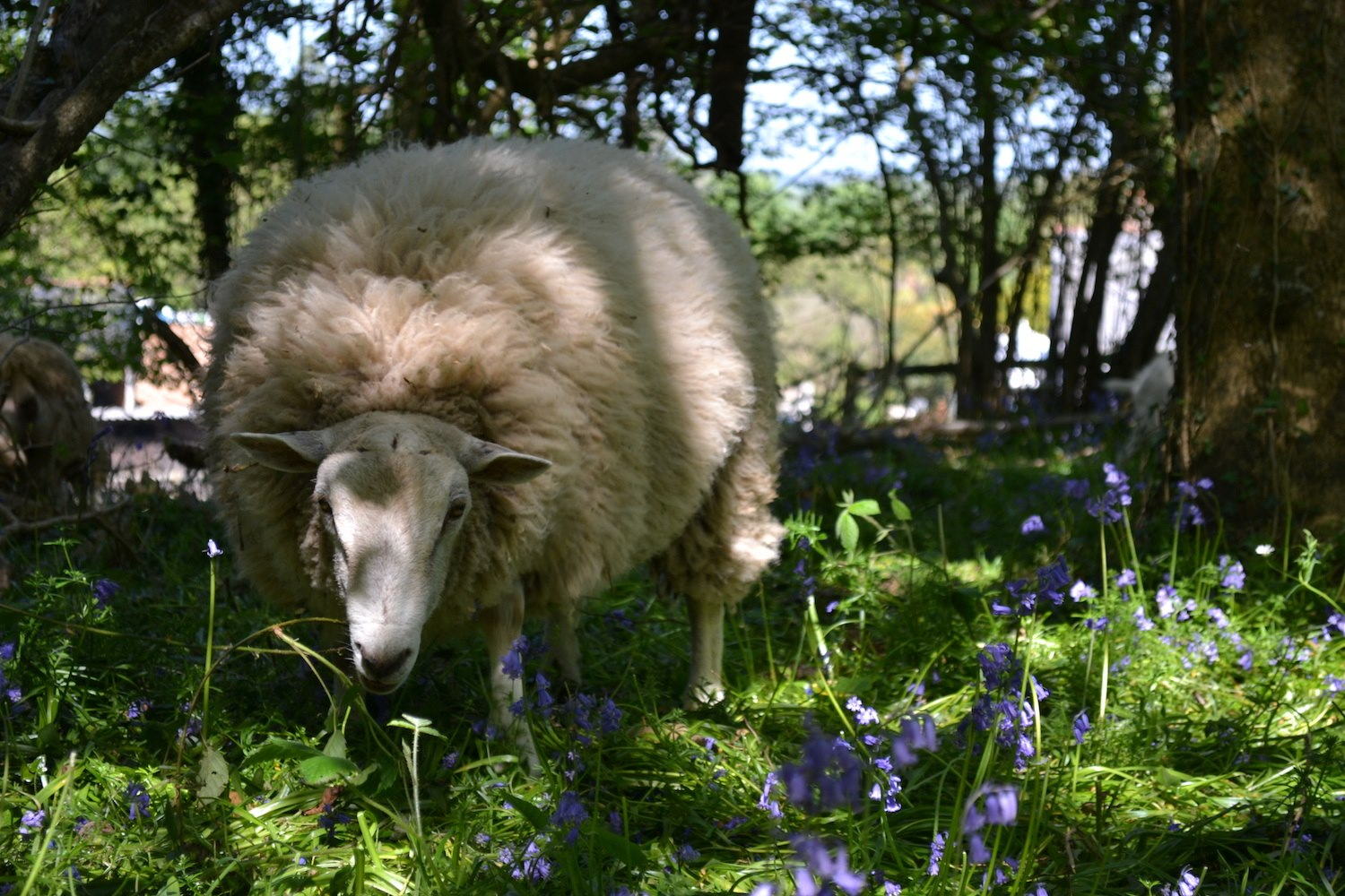 Sheep grazing in the bluebells at Borthwood Copse